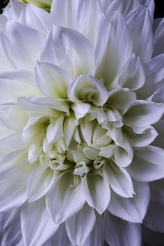 Large Dahlia Close Up by Garry Gay