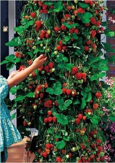 200pcs/lot free shipping New arrival climbing strawberry seeds for DIY home garden $4.40