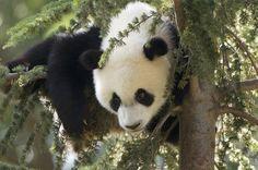 Giant Panda Cub hangs upside down by Arturo de Frias on 500px