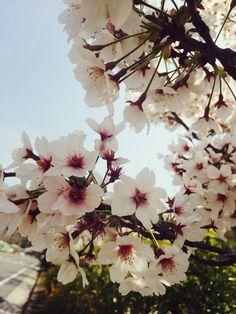 벚꽃>_<♡