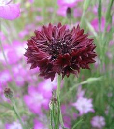 Centaurea 'Black Gem' (aka Black Bachelor Buttons).  Silvery leaves and self sows.
