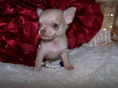 chi chi dog chihuahua chinese crested mix info temperament cool pictures pinterest. Black Bedroom Furniture Sets. Home Design Ideas