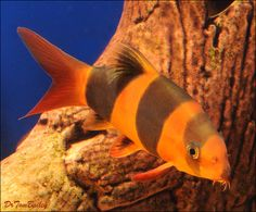 A Clown Loach in one of our aquariums. To see more click on ... http://www.AquariumFish.net/catalog_pages/sharks_eels_loaches/loaches_for_sale.htm#top2