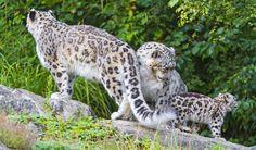 Детеныши Животных, Леопардовые Тату, Дом, Животные, Леопарды, Миниатюры, Снежный Барс, Большие Кошки, Вымирающие Виды