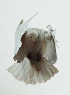 Interesting ads from Comme des Garcons Photo D Art, White Doves, Comme Des Garcons, Fauna, Beautiful Birds, Beautiful Mess, Beautiful Creatures, Animal Kingdom, Pet Birds
