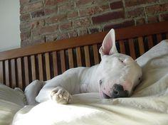 Sleepy bull terrier! Seriously adorable.