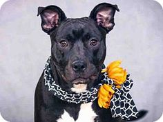 Pit Bull Terrier Mix Dog for adoption in Sacramento, California - SOPHIE