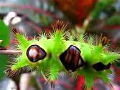 venom caterpiller; saddleback.   nasty little bug-er    Green spiky saddle back caterpillar with Alien faces