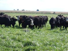 """Here's a coordinated approach to turn your fescue """"scourge"""" into cost-effective, productive pastures."""