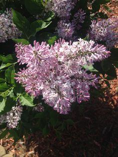 my mini lilac bush i love purple pinterest. Black Bedroom Furniture Sets. Home Design Ideas