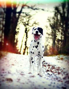 Happy Dalmatian dog @yummypets