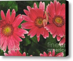 Limited time offer of the Pink Gerbera Cluster by William Norton on a 20 x 16 stretched canvas for $85.