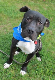 Meet Vinny a Petfinder adoptable Pit Bull Terrier Dog | Mentor, OH | Vinny is the epitome of a gentle giant. He is 2 years old and he is just such a lover. He enjoys...