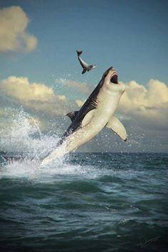 Shark vs air vs seal lion