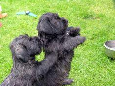 Glen puppies begging