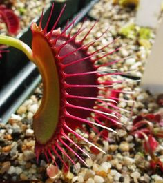 This was a typical seed grown vft at CC! But it showed specific traits of thin petioles, large red traps, and white tipped long cilia. I would totally spend big bucks on this guy/this should be a new cultivar :) #venusflytrap #dionaea #flytrap #dionaeamuscipula #carnivorousplants #botanicalninja #carnivorousplantsofinstagram #plantnerd #carnivorous #californiacarnivores #carnivoroustagram