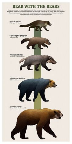 Evolution of bears/ursidae. Artist is Julio Lacerda Evolution of bears/ursidae. Artist is Julio Lacerda Evolution of bears/ursidae. Artist is Julio Lacerda Evolution of bears/ursidae. Artist is Julio Lacerda Prehistoric Wildlife, Prehistoric World, Prehistoric Creatures, Evolution, Spinosaurus, Dinosaur Art, Extinct Animals, Animal Facts, Art And Illustration