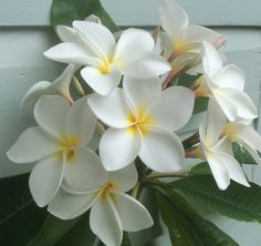 Frangipani - noid white. May be Snow Queen .3/1/16