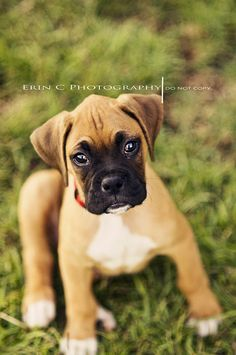 #Boxer puppy! / #dog #canine #cute #funny #adorable #Boxers