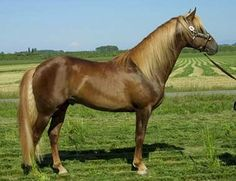 The Azteca breed is generally known for having a willingness to learn and be trained. They're great in compentitions and considered a very sporty horse. They don't tend to have a wildside, so they're great for riding.