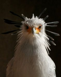 African Secretary Bird by Richard  Schoettger