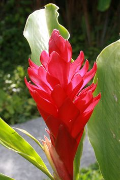 Red Ginger in Costa Rica. So many exotic flowers.  These too were in my aunts backyard.