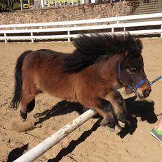 Miniature Horse jumping...gonna teach my little Gallifrey to jump.
