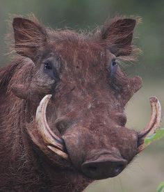 a warthog. i know, not really a mutant, but it sure is ugly enough to count as one....