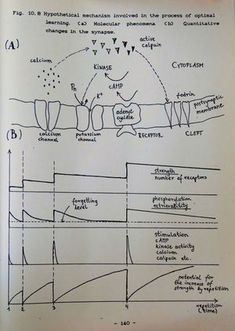 Hypothetical mechanism involved in the process of optimal learning. (A) Molecular phenomena (B) Quantitative changes in the synapse Spaced Repetition, Bullet Journal, Change, History, Learning, Studying, Teaching, Historia