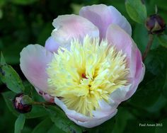 Morning Peony by Paul Aman