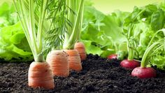 It's not too late to start your own veggie garden! Here are the late bloomers you can plant now to enjoy before the growing season ends. Raised Vegetable Gardens, Raised Garden Beds, Vegetable Gardening, Farm Gardens, Small Gardens, Organic Farming, Organic Gardening, Gardening For Beginners, Gardening Tips