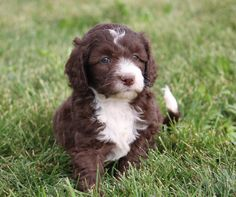 Crockett Doodles - Family Raised Doodle Puppies for Sale White Labradoodle, Labradoodle Puppies For Sale, Cavapoo Puppies, Cute Puppies, Cute Dogs, Dogs And Puppies, Doggies, Puppys, Goldendoodle Miniature