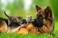 Wicked Training Your German Shepherd Dog Ideas. Mind Blowing Training Your German Shepherd Dog Ideas. Cute Kittens, Cats And Kittens, Kitty Cats, Fluffy Kittens, Ragdoll Kittens, Tabby Cats, Bengal Cats, Beautiful Dogs, Animals Beautiful