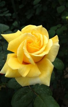 Captivating Why Rose Gardening Is So Addictive Ideas. Stupefying Why Rose Gardening Is So Addictive Ideas. Beautiful Rose Flowers, Pretty Roses, Love Rose, All Flowers, Exotic Flowers, Flowers Garden, Yellow Flowers, Pink Roses, Yellow Roses