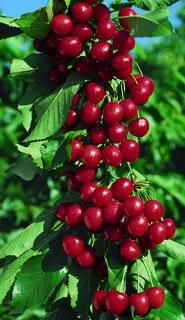 Starkrimson Sweet Cherry