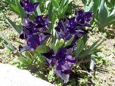 Taking Care of Irises   Georgia Gardening Web Articles
