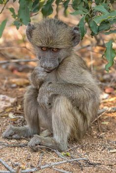Baby Chacma Baboon Baboon, Animal Pictures, Monkey, Wildlife, Creatures, African, Cute, Animals, Painting