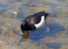 Tufted Duck, via Flickr.