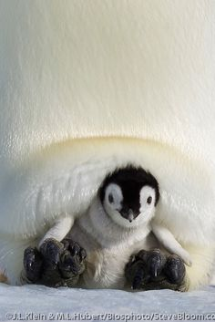 Emperor Penguin chick resting on the feet and in its parent's pouch, Antarctica