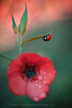 ⬛️Lady Bugs / Lady BirdsMore At FOSTERGINGER @ Pinterest
