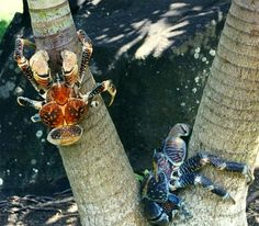 coconut crabs on the palms