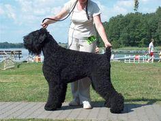 Adam Malahovskiy - Black Russian Terrier beautiful and massively impressive