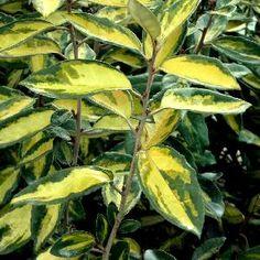 Elaeagnus x ebbingei 'Limelight' sur www.clematite.net #arbuste #arbustes #fleur #fleurs #feuillage #Travers #pépinières