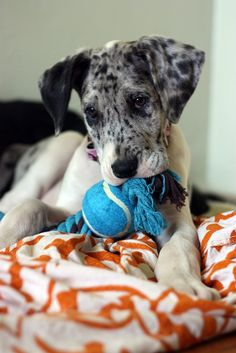 great dane cute puppy