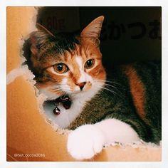 .❀. ココアの趣味はダンボールアート! 今も製作中なゃん。 ₍˄·͈༝·͈˄₎ฅ˒˒ それから、昨日食べてしまったわたしの服に付いてたうさぎの毛のボンボンは、無事に吐き出しました。 (*ˊૢᵕˋૢ*)ヨカッタ~、ホッ♡ . . #ココアという猫のこと #縞三毛 #保護猫 #愛猫 #多頭飼い #ねこすたぐらむ #ねこのいる生活 #ふわもこ部 #ニャンスタグラム  #猫のいる暮らし  #にゃんだふるらいふ #にゃんすたぐらむ  #ペコねこ部 #nekoclub #NEKOくらぶ  #みんねこ #ピクネコ  #instacat #catstagram #cats_of_instagram #ilovemycat #catzelnut  #catifyco  #bestcatsclub #bestcataward