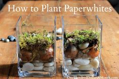 Friends and family will love receiving these beautiful flowers as gifts. Start planning now by planting paperwhite bulbs in glass containers so they will be in bloom when it's time to gift. Click in for the complete guide.
