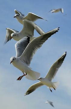 Dieren, Vogels, Vlucht, Vliegen, Meeuwen, Hemel