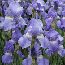 Several small Iris 'Jane Philips' divisions planted in inner circle. Three larger into H by P. Tom Thumb and three into I.