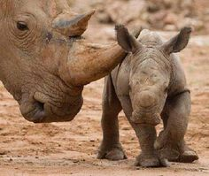the delicate touch of love... | rhino mom & calf