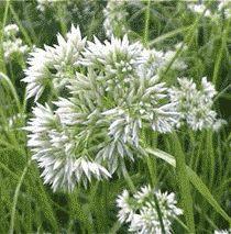 Graminée Blanc de neige (luzula nivea) ▓█▓▒░▒▓█▓▒░▒▓█▓▒░▒▓█▓ Gᴀʙʏ﹣Fᴇ́ᴇʀɪᴇ ﹕☞ http://www.alittlemarket.com/boutique/gaby_feerie-132444.html ══════════════════════ ♥ #bijouxcreatrice ☞ https://fr.pinterest.com/JeanfbJf/P00-les-bijoux-en-tableau/ ▓█▓▒░▒▓█▓▒░▒▓█▓▒░▒▓█▓